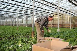 Tuinder schenkt deel paksoi oogst